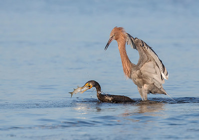 Egret, Cormorant and Mullet