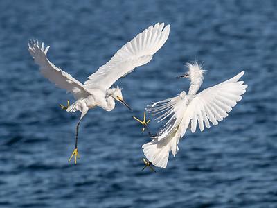 Squabbling Snowy Egrets