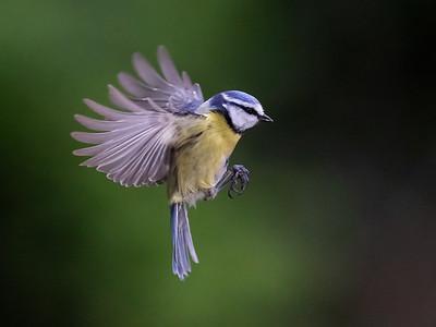 Landing Blue Tit