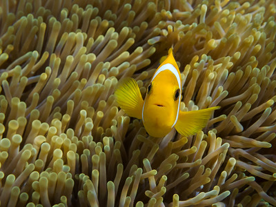 Blackfoot Anemonefish