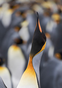 Trumpeting King Penguin