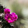 Laura Pratt,   Cholla Blossoms