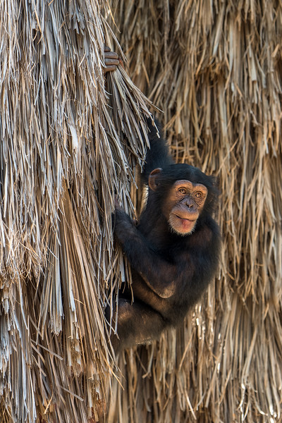 Julie Clark,   Mischievous Chimp