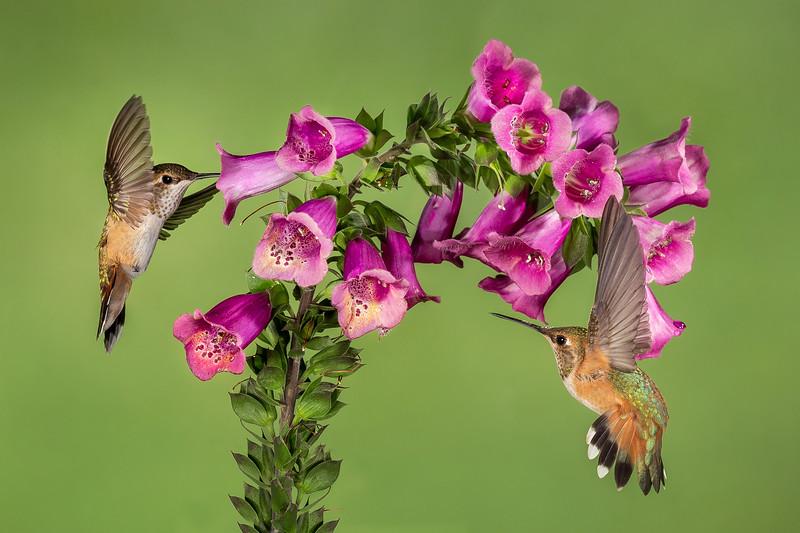 Eric Gofreed,   Hummingbirds and Foxglove