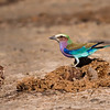 Mark Elder,   Lilac Breasted Roller