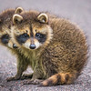 Judy Curnow,   Baby Raccoon