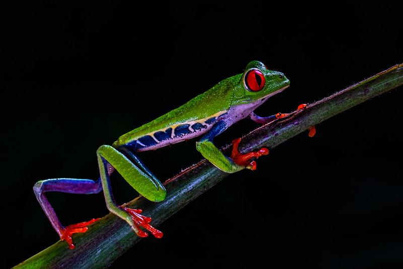 Eric Gofreed,   Red-eyed Tree Frog