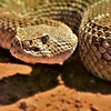 Mark Thomas,   Western Diamondback