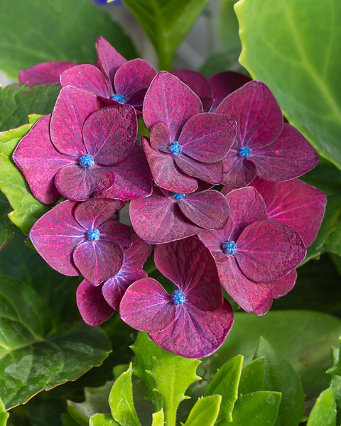 Sally Nelson,   Red and blue Hydrangea