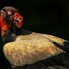 Eric Gofreed,   King Vulture