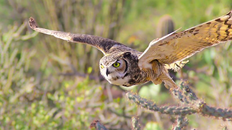 Monte Jensen,   Great Owl