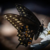 Pat Scott,   Swallowtail on Flower