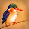 Stephanie Brand,   Malachite Kingfisher