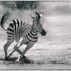 Elaine Belvin,   Zebra in Motion