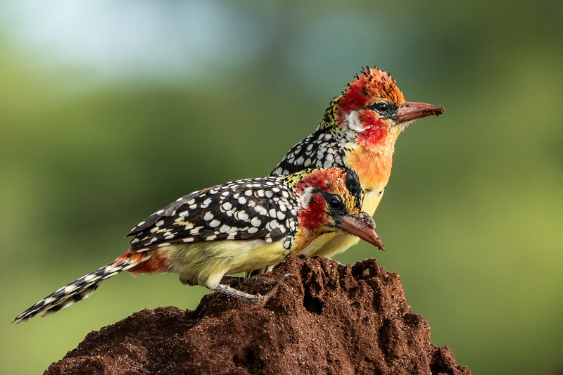 Karen Larson,   Two Barbets and a Bug on a Beak