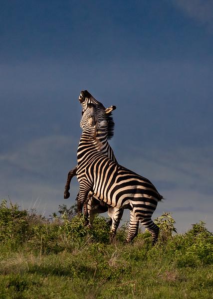 Gary Bicker,   Stallions of Ngorongoro