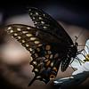 Pat Scott,   Swallowtail on Flower