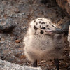 Alan Newton,   Gull Chick