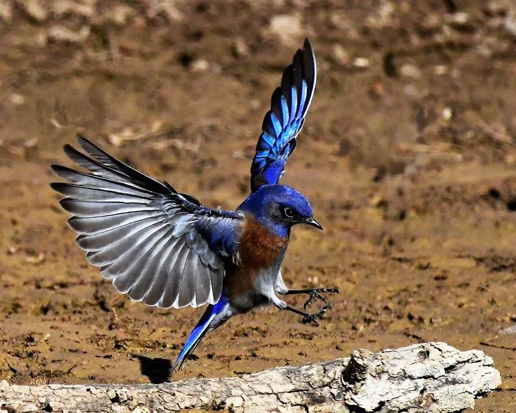 Mark Thomas,   Western Bluebird Landing