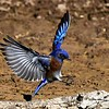 Mark Thomas,   Western Bluebird Landing