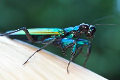 Iridescent bark mantis (Metallyticus splendidus)