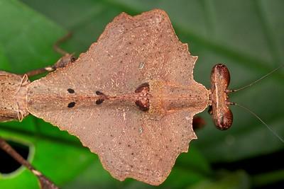 Dead leaf mimicking praying mantis (Deroplatys sp.)
