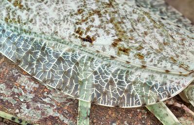 Lichen camouflaged mantis (Theopompa borneana)