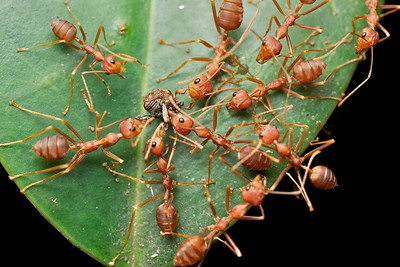 Weaver ants (Oecophylla smaragdina) with weevil prey