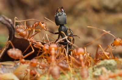 Weaver ants (Oecophylla smaragdina) with ant prey (Odontoponera sp.)