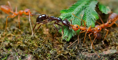 Weaver ants (Oecophylla smaragdina) with prey