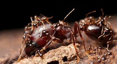 Supermajor ant (Carebara sp.) carrying minor workers
