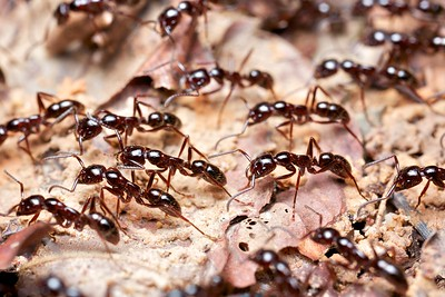 Asian army ants (Leptogenys sp.)