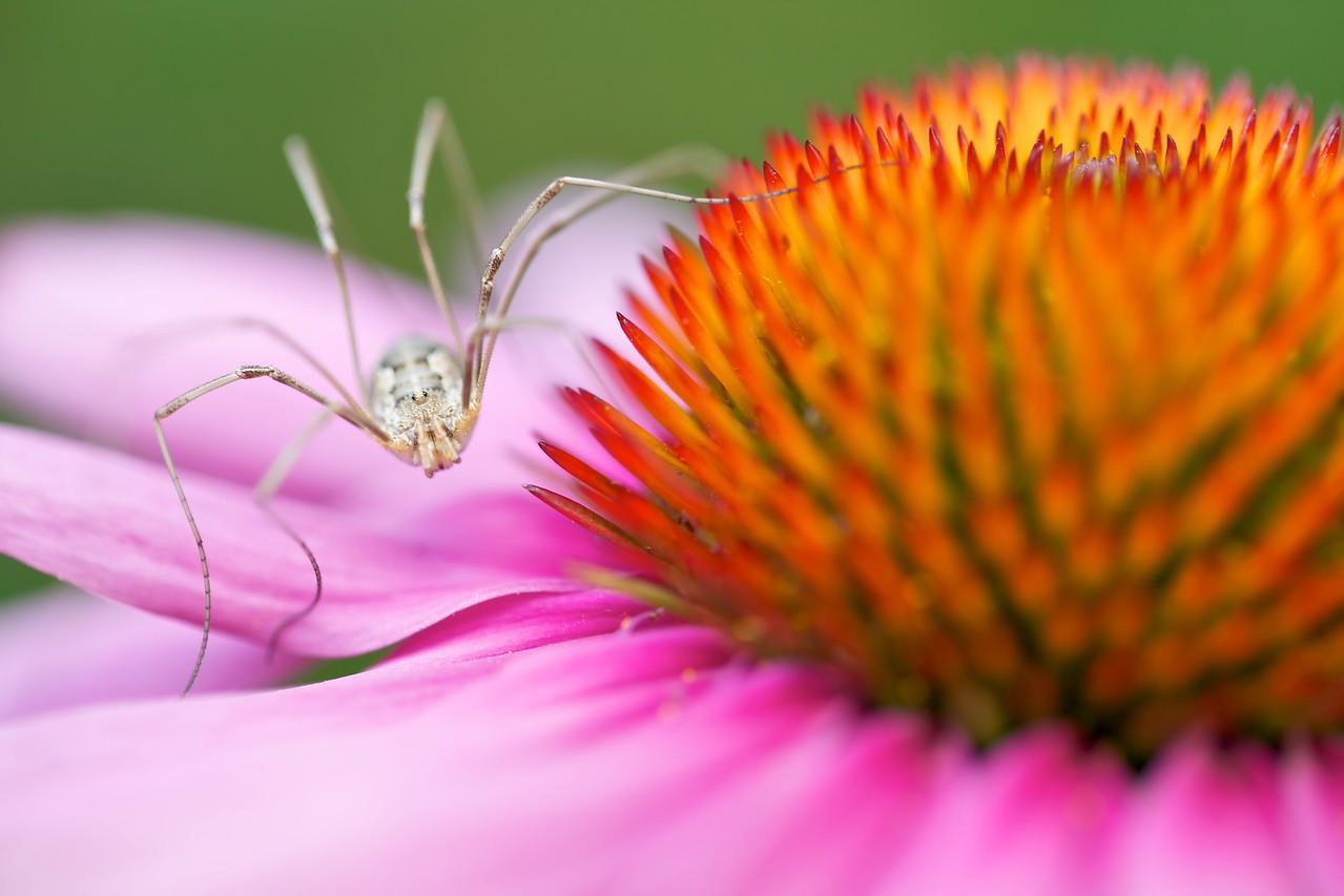 Harvestman on echinacea flower