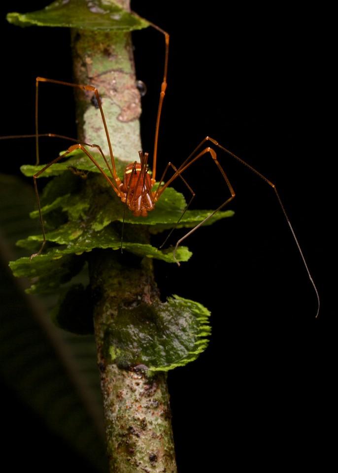 Harvestman (Protimesius sp.) on mosses