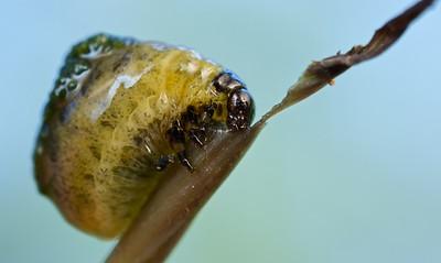 Leaf beetle larva (Chrysomelidae) with faecal deterrent