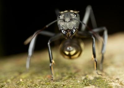 Golden carpenter ant (Camponotus serveicentris)