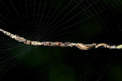 Web debris spider (Cyclosa sp.)