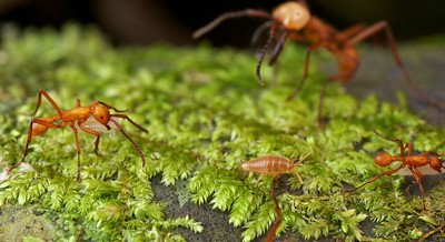 Army ant-associated bristletail (Nicoletiidae?) running in army ant column
