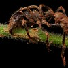 Bullet ant (Paraponera clavata) infected with cordyceps fungus (Ophiocordyceps ponerinarum)