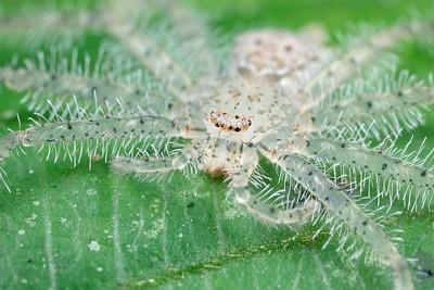 Juvenile translucent hairy huntsman spider
