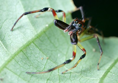 Large-jawed jumping spider