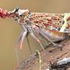 Fulgorid hopper (Phrictus quiquepartitus)