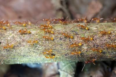 Yellow army ants (Neivamyrmex sp.)