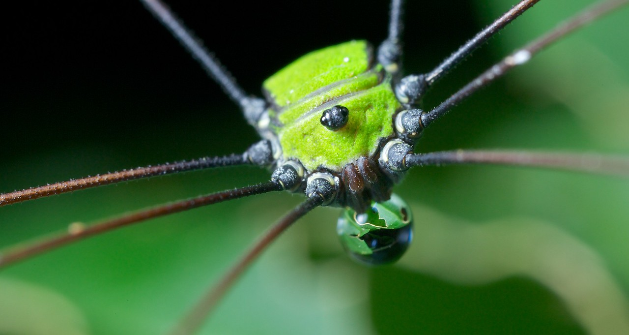 Green harvestman with water drop