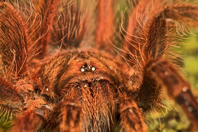 Red haired tarantula (Mygalomorph)