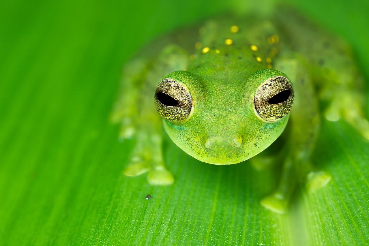 Glass frog (Espadarana prosoblepon)
