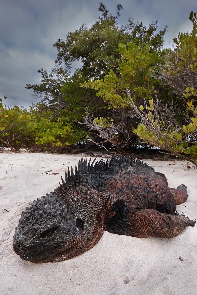 Marine iguana sleeping