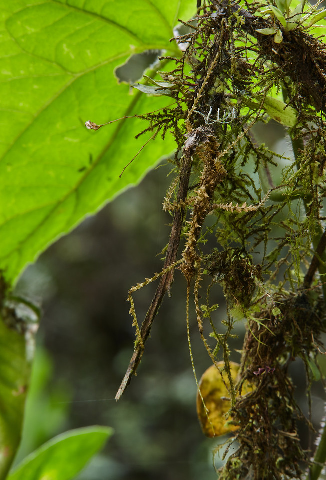 Moss-mimicking stick insect