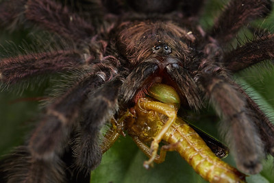 Tarantula with iridescent purple hairs with prey