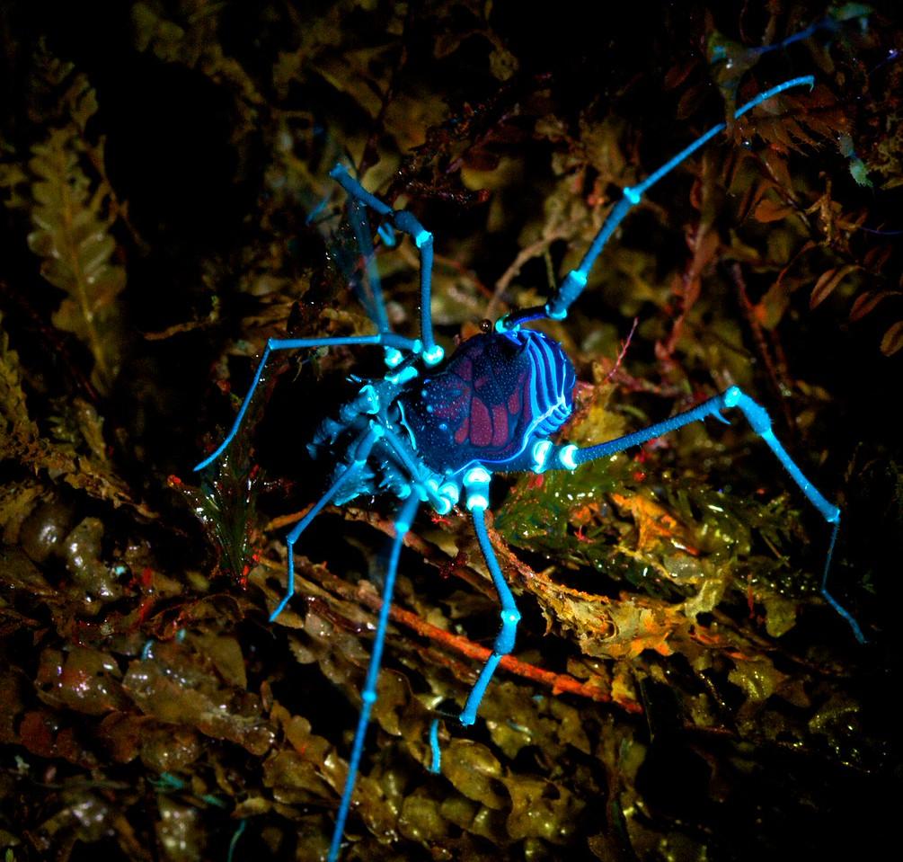 Harvestman under UV light